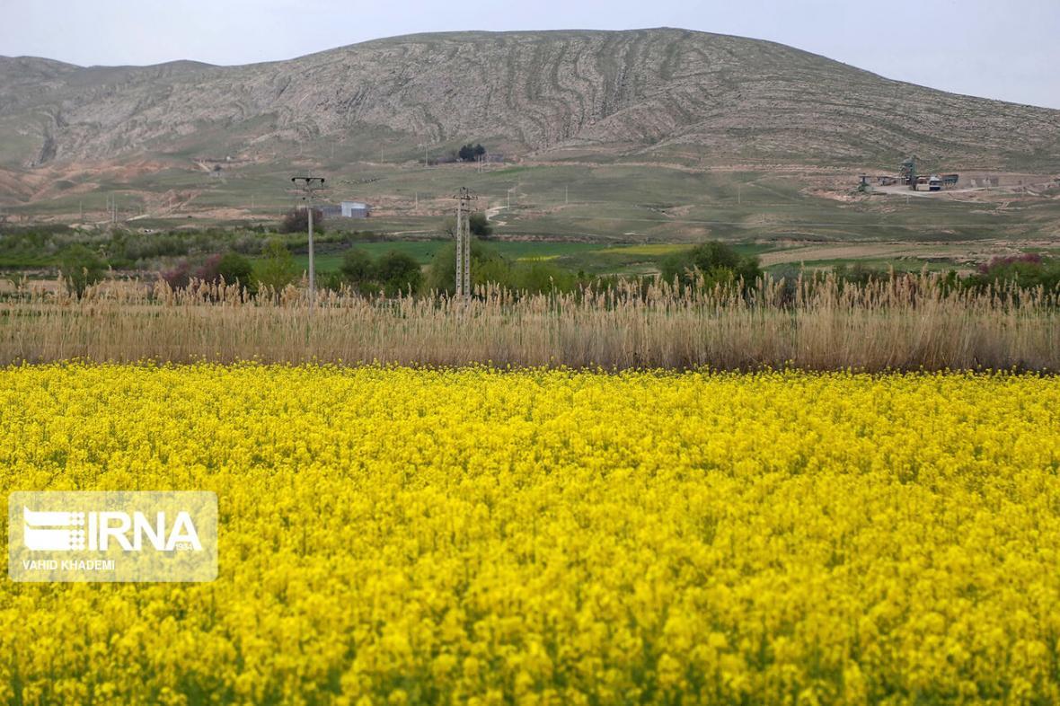خبرنگاران 95 درصد مطالبه کلزاکاران خراسان شمالی پرداخت شد